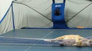 【動画あり】猫と卓球している動画!
